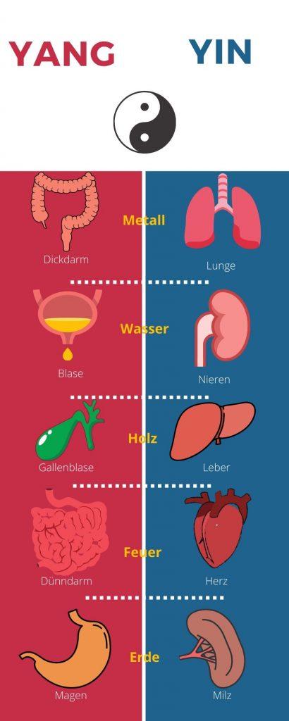 Die Organe werden in der TCM in Yin und Yang aufgeteilt. Jedem Element wird ein Yin und ein Yang-Organ zugeordnet.